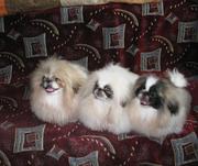 Пекинесы - цветные щенки.