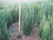Хвойни декоративные деревя и кусты для озеленения