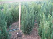 дерева та кущi власного вирощуваня