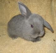 карликовый кролик — идеальное животное для города