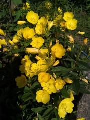 Красивые здоровые растения для цветников,  клумб,  оформлений