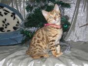 Бенгальская кошка...